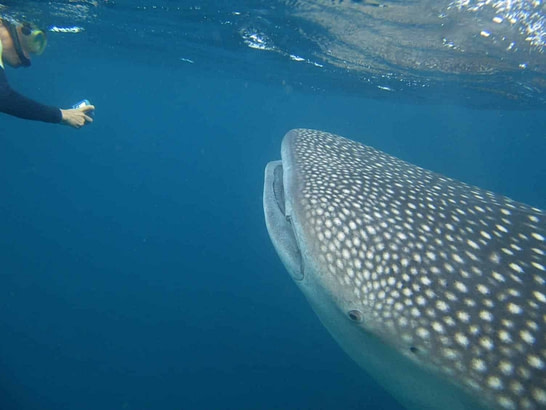 whale shark-animals-Djibouti-diving